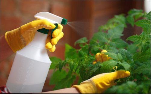 Опрыскивание рассады раствором пищевой соды